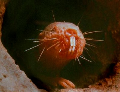 Naked Mole Rats and You - Genes and Lifestyle Make a Difference, genetics, naked mole rats.