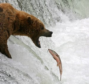 Salmon fishing bear in Alaska.