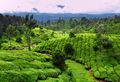 Tea fields can be quite beautiful.