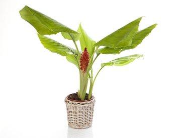 The Hawaiian Turmeric plant.